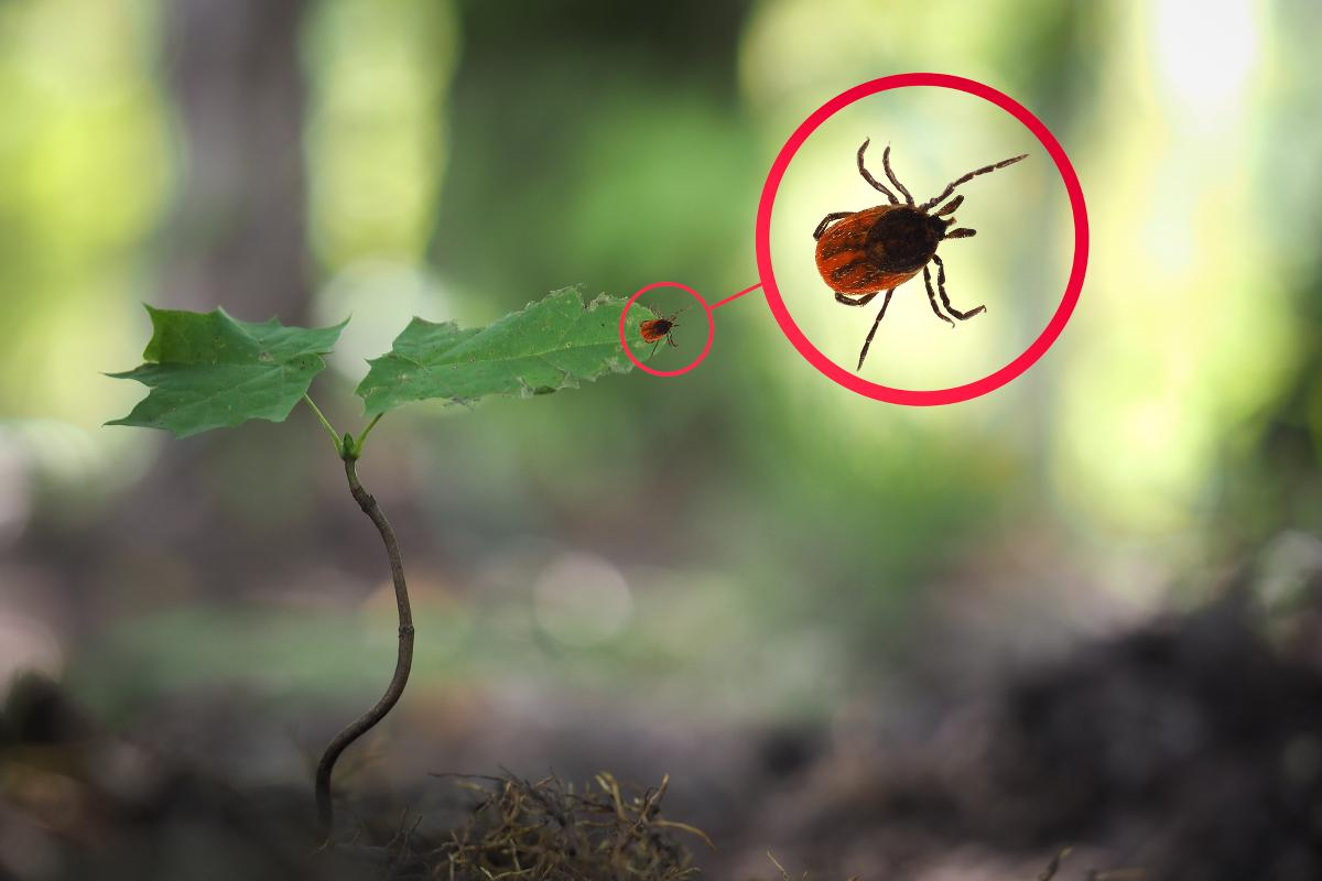 https://www.indianalymeconnect.org/wp-content/uploads/2018/04/ticks-in-indiana.jpg